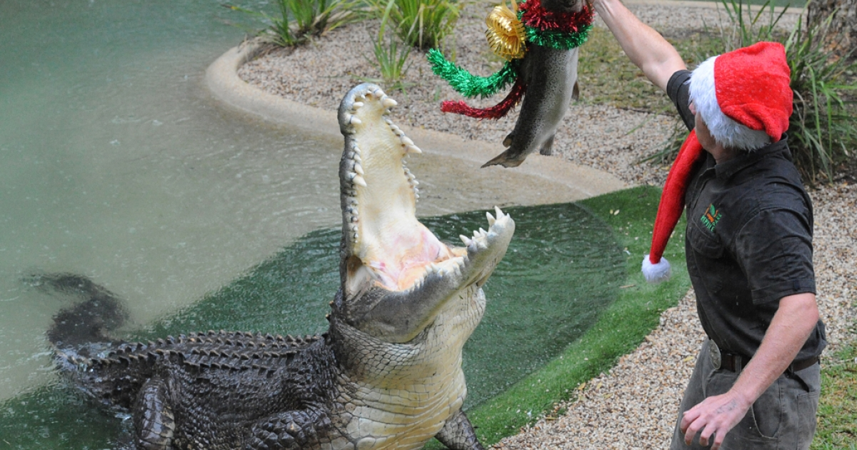 Elvis, seen here being fed holiday-adorned fish, made headlines today when he attacked one of the lawn mowers at the Australian Reptile Park near Sydney.</p>