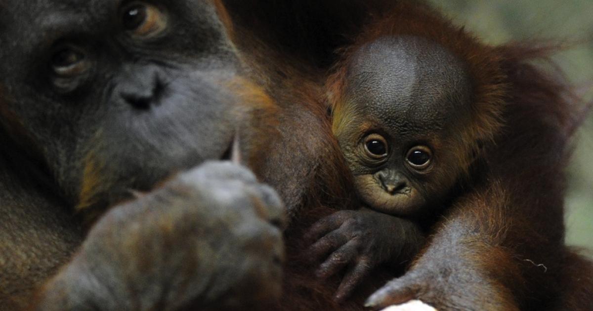A 29-year-old Sumatran Orangutan female Bini holds her 10-week-old baby Bulan in her arms at the Berlin Zoo.</p>
