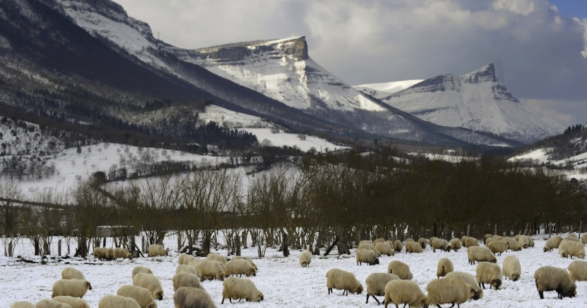 A flock of sheep look for grass at a farm covered by snow, in the Northern Spanish Basque village of Orduna, on Feb. 3, 2012. Countries from Italy to Ukraine struggle to cope with temperatures that plunged to record lows in some places.</p>