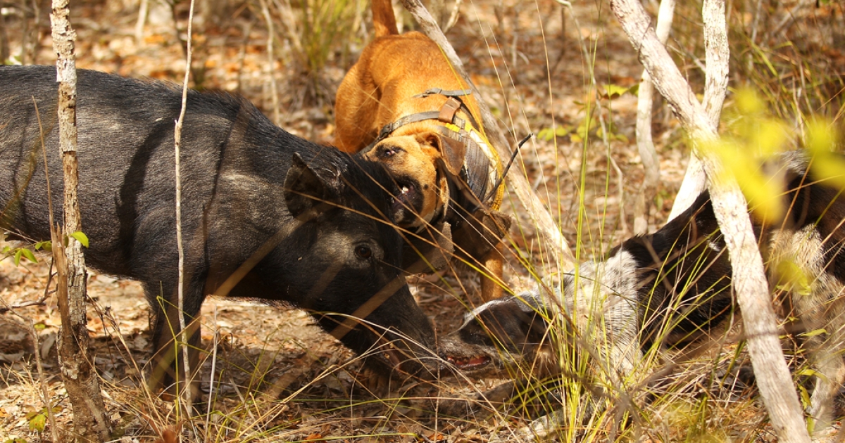 A feral pig is bailed and held by two pig dogs during hunting on Silver Plains Station on October 8, 2011 outside of Coen, Australia.</p>