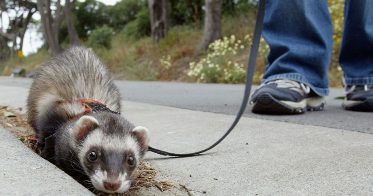 Angela Guglielmino walks a Ferret on a leash at the San Francisco Zoo on June 13, 2003.</p>