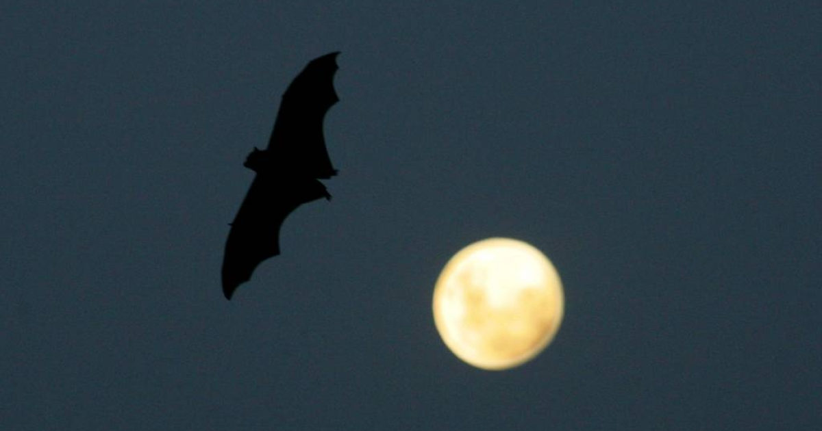 Australian state lawmakers have proposed smoke-bombing flying fox colonies amid an outbreak of potentially fatal Hendra virus.</p>