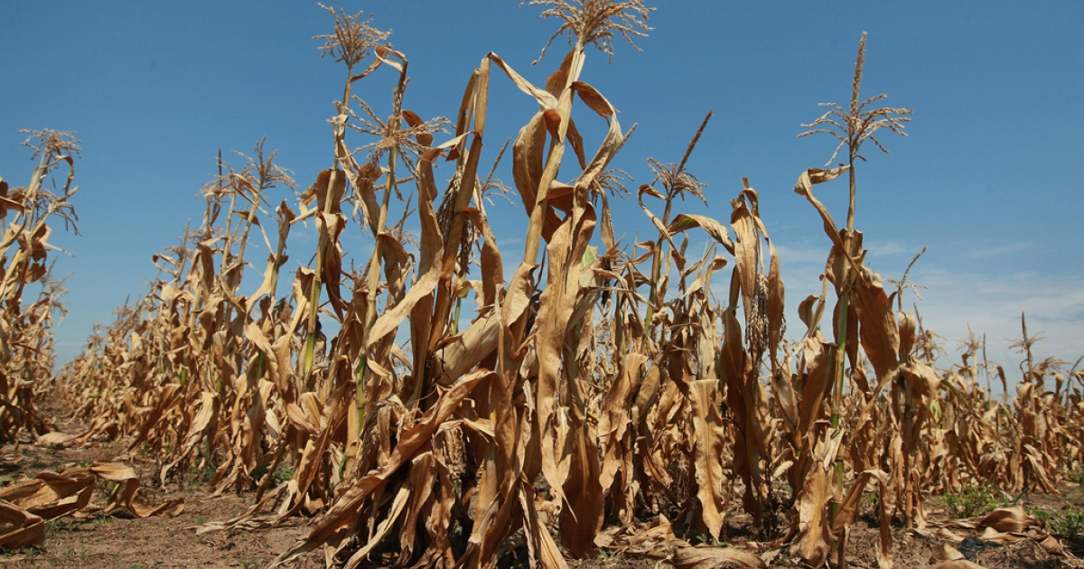 Corn plants struggle to survive in a drought-stricken farm field on July 19, 2012 near Oakton, Indiana. The corn and soybean belt in the middle of the nation is experiencing one of the worst droughts in more than five decades. Indiana was the nation's fourth largest corn producer in 2011.</p>