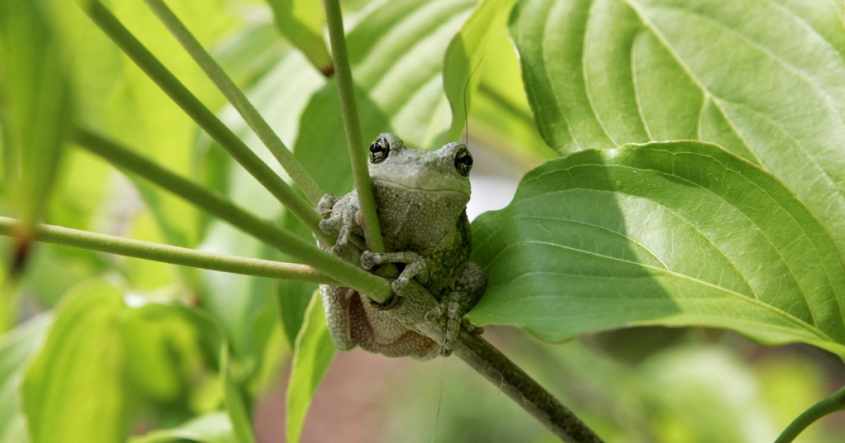 A tree frog sits on a branch in Owings, Maryland, June 8, 2005.</p>