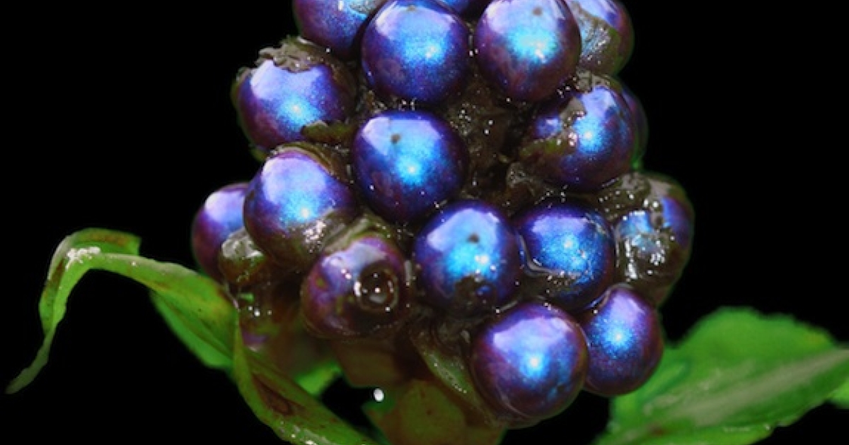 A bunch of the world's shiniest fruit.</p>