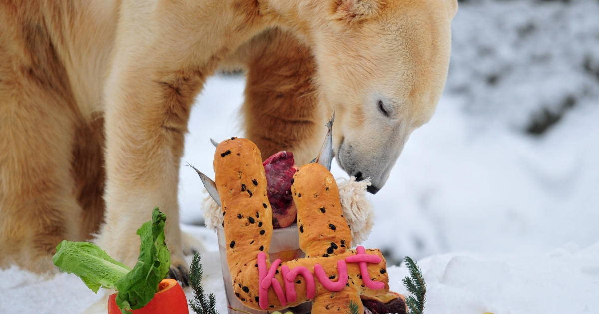 The world's most famous polar bear Knut eats his birthday cake on his fourth birthday in his snow-covered enclosure at the Tiergarten zoo in Berlin, on Dec. 5, 2010 in Berlin.</p>