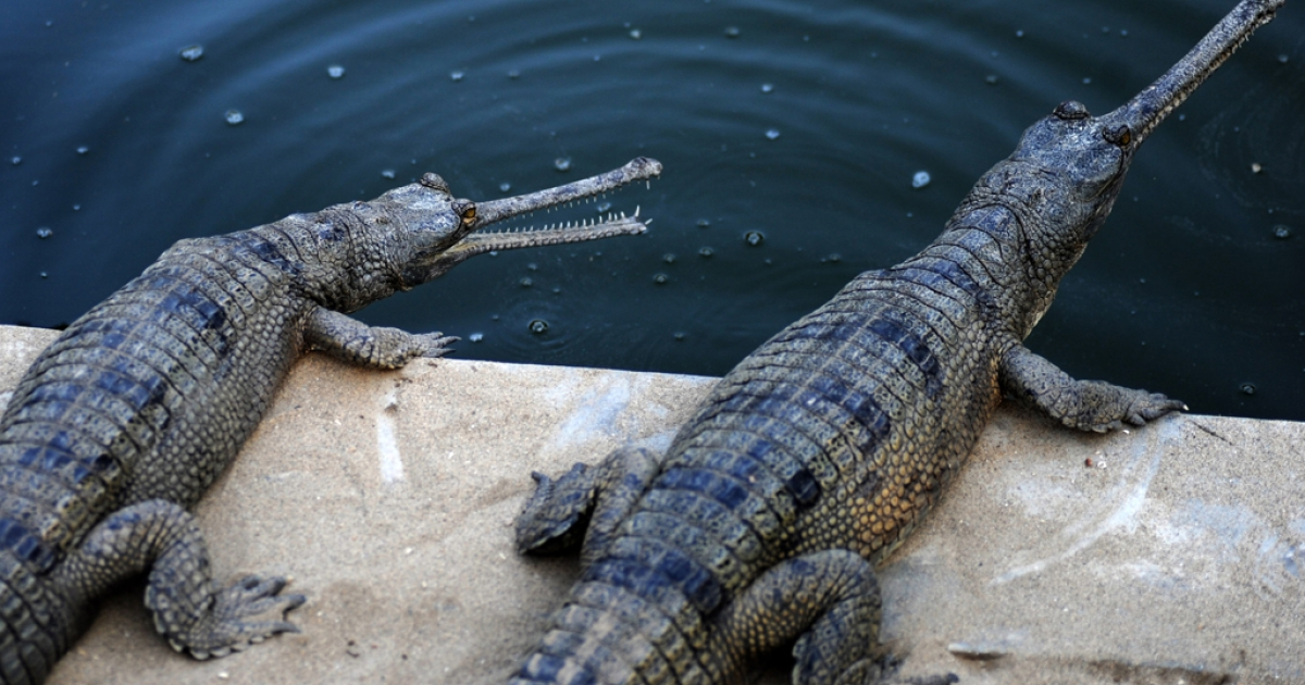 Gharial crocodiles are seen at the reptile breeding farm in Chitwan National Park. The Chitwan National Park released 40 young Gharials into the wild on Wednesday. Chitwan is the first wildlife park in Nepal, and provides a safer environment for endangered species such as the one-horned rhino and the royal bengal tiger.</p>