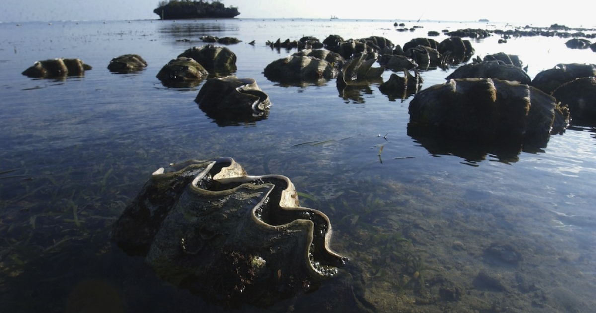 Giant clams near Bolinao in the Northern Philippines on Jan. 23, 2004. The clams, prime builders for coral reefs, are exposed by low tides.</p>