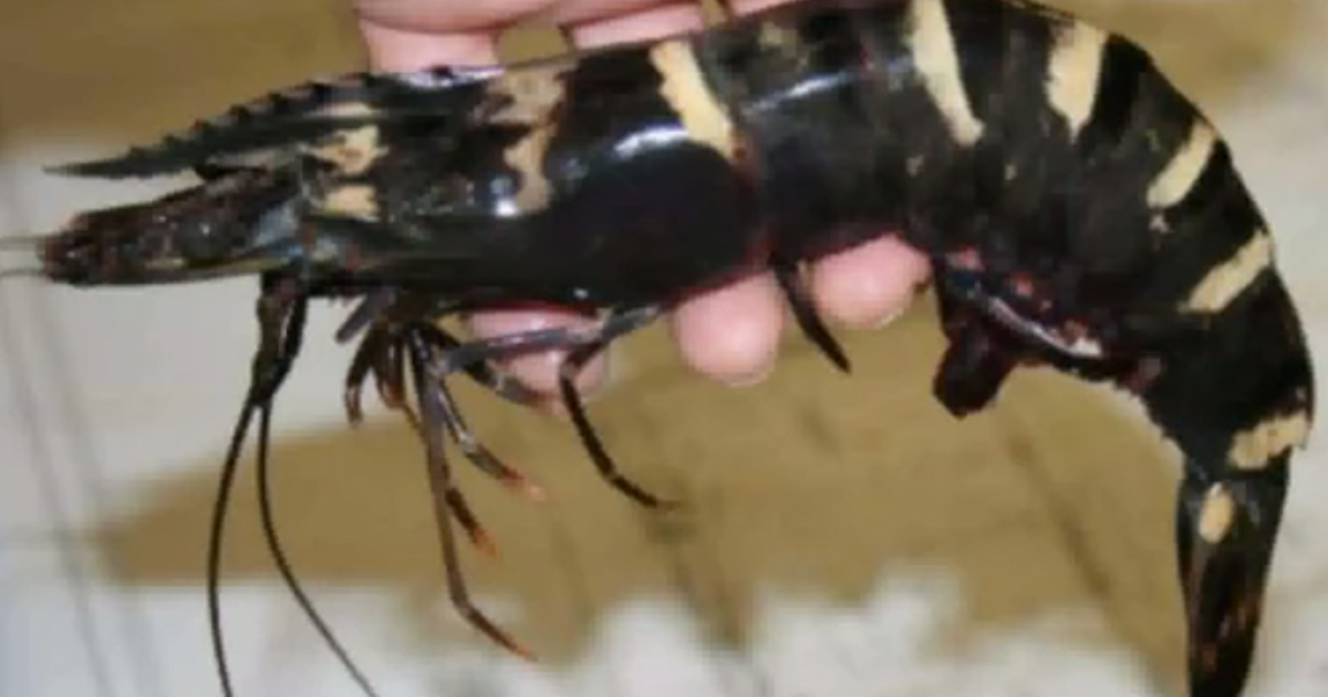 Giant tiger shrimp have multiplied in US waters raising worries about native marine life.</p>