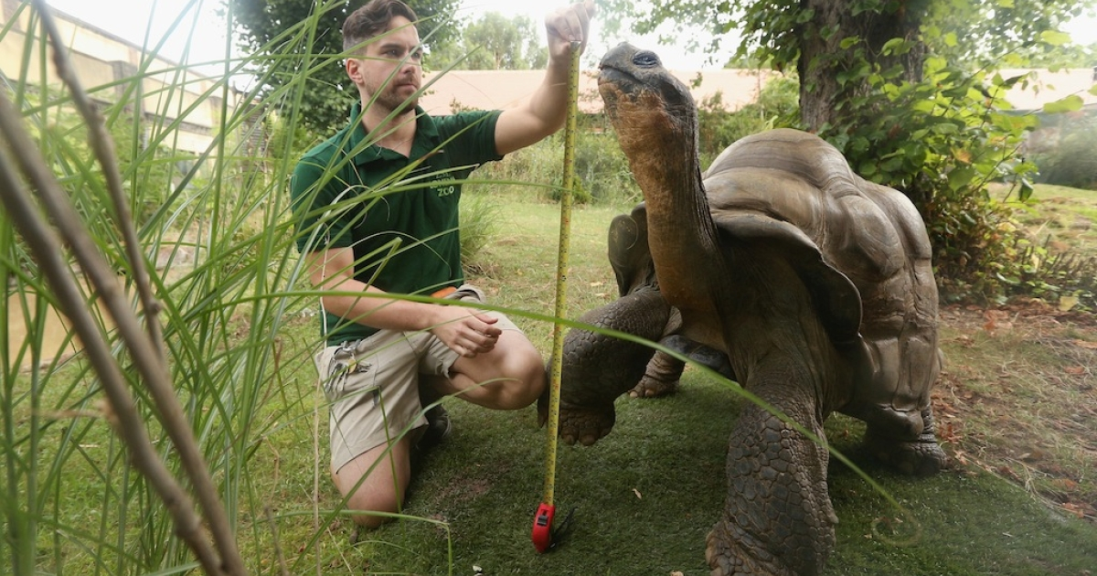 Zookeeper Grant Kother weighs and measures a giant tortoise during ZSL London Zoo's annual weigh-in on Aug. 22, 2012 in London, England. The height and mass of every animal in the zoo needs to be recorded. The measurements are collated in the Zoological Information Management System, from which zoologists can use the data to compare information on thousands of endangered species.</p>