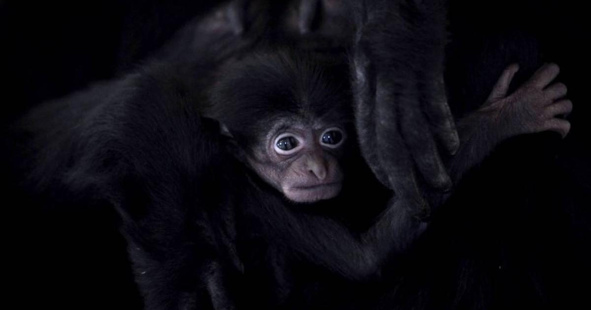 A one month old baby gibbon with its mother at a zoo in England. The world's only viable population of northern white-cheeked crested gibbons has been found in a remote jungle in Vietnam.</p>