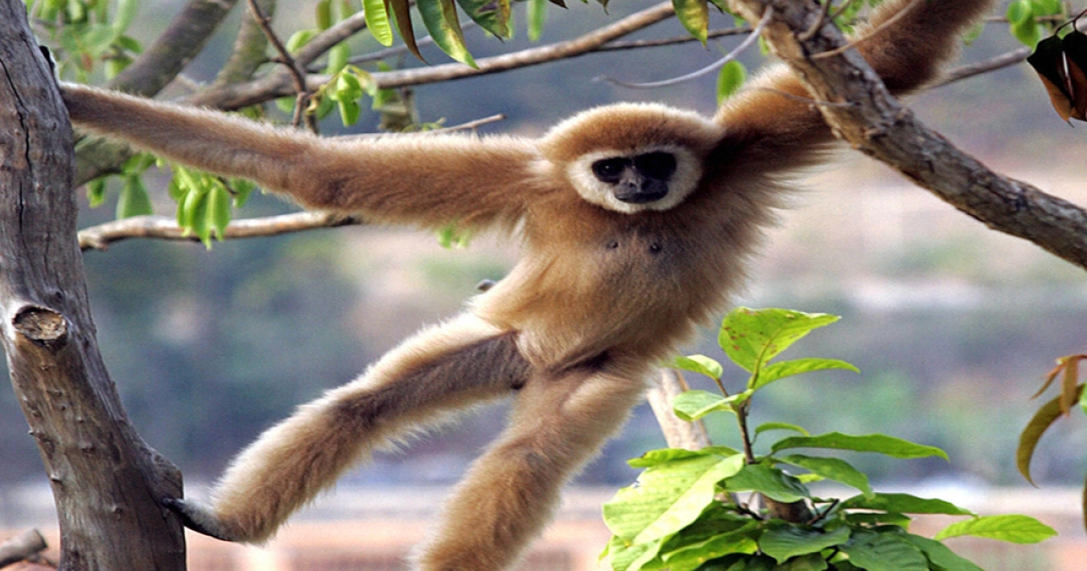 Japanese researchers gave helium to gibbons to get clues about how the vocal system works. Gibbons