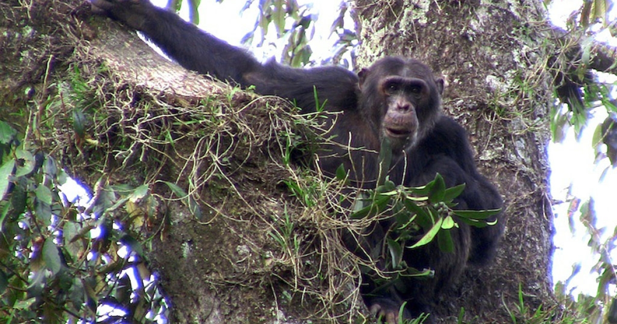An adult male chimpanzee living in the Gishwati forest.</p>