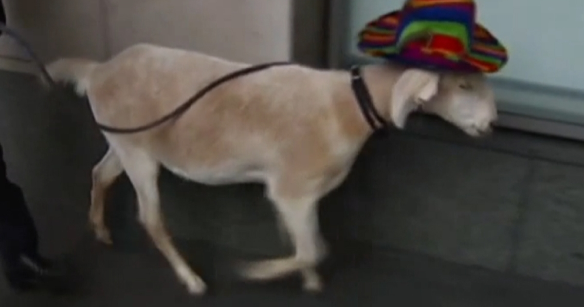 A goat has been found not guilt in a Sydney court of eating flowers belonging to a museum.</p>