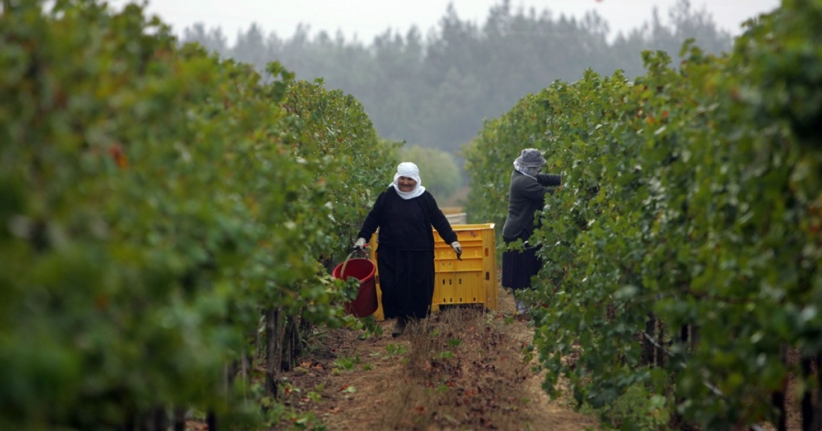 Israeli Druze women harvest Viognier grapes for the Golan Heights winery at dawn in a vineyard in Moshav Odem.</p>