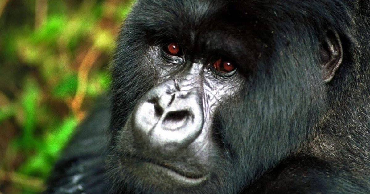 Rwanda's Volcano National Park offers close encounters with critically endangered mountain gorillas. Here a male silverback in the park.</p>