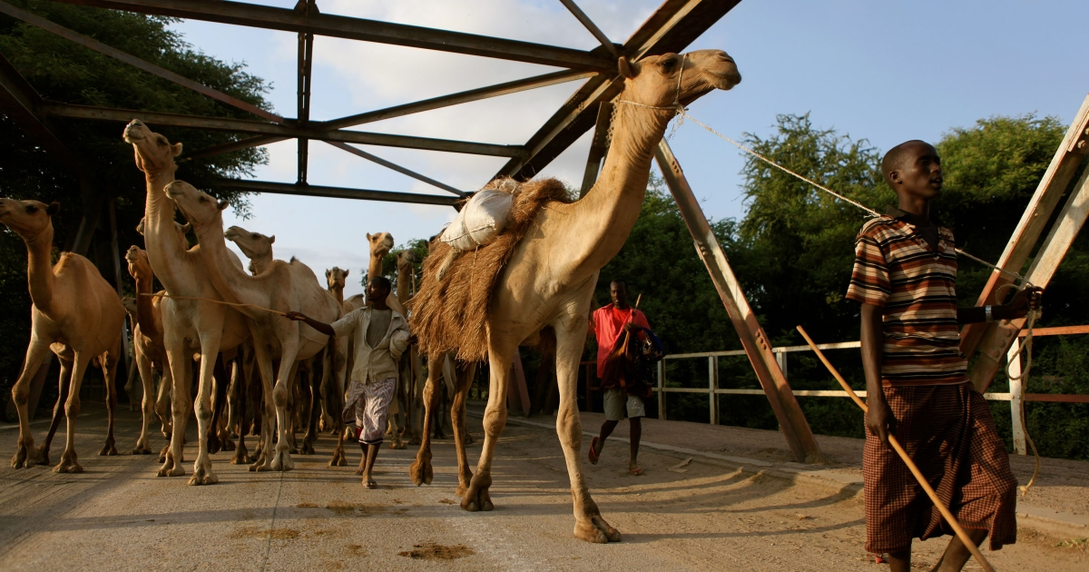 As the day ends, a herd of camels is led across a bridge over the Shabelle River in the town of Afgoye, outside Mogadishu.</p>