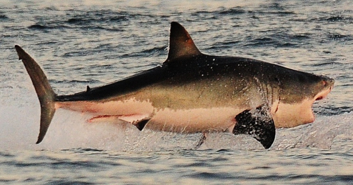 A Great White shark jumps out of the water as it hunts Cape fur seals near False Bay, on July 4, 2010. A South African Fur Seal was caught on video in December 2013 as it turned the tables on its traditional enemy.</p>