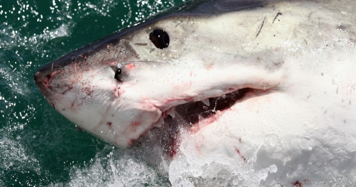 A great white shark.</p>