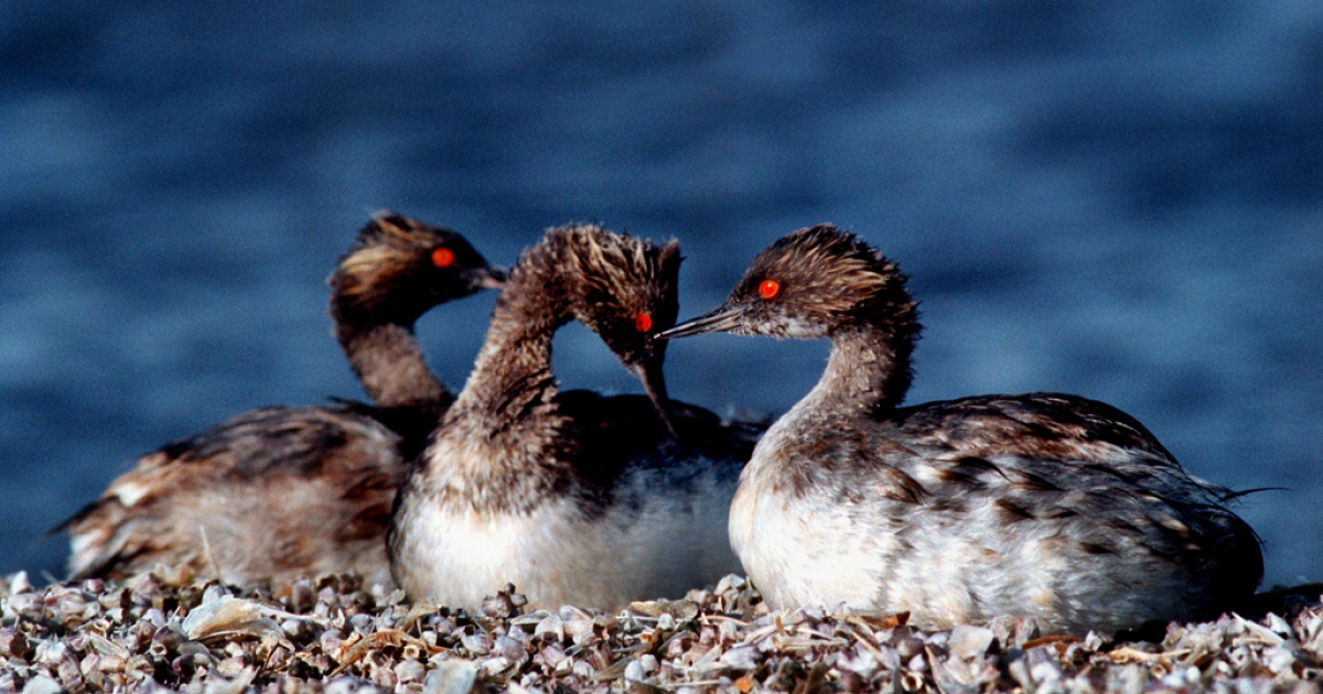 Thousands of migrating grebes crash-landed in a Walmart parking lot and other areas in Utah.</p>