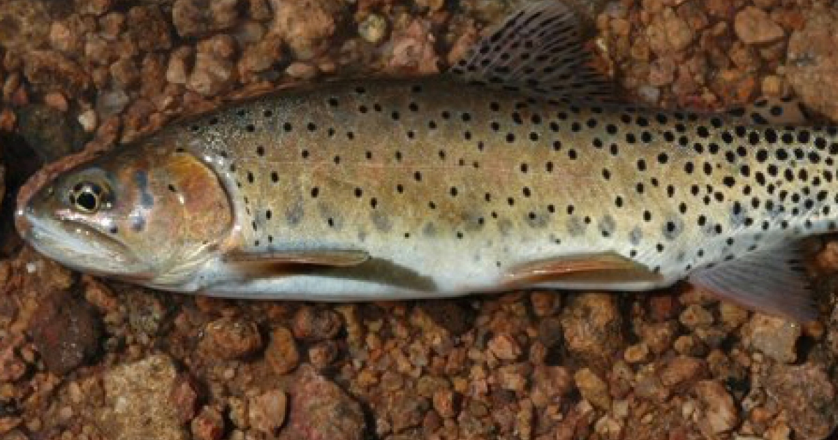 A new study found that the greenback cutthroat trout's habitat has been reduced to just one river in Colorado.</p>
