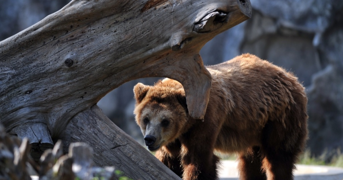 The 500-pound captive brown bears worked on films and television commercials.</p>