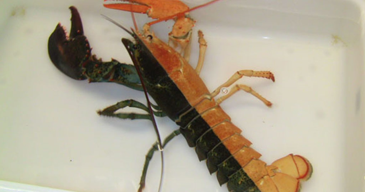 Fishermen caught this bizarre-looking black-and-orange lobster just in time for Halloween. Dana Duhaime found the one-pound female lobster in one of his traps sitting in Bakers Channel near Beverly, Massachusetts, and the New England Aquarium revealed her on October 31, 2012.</p>