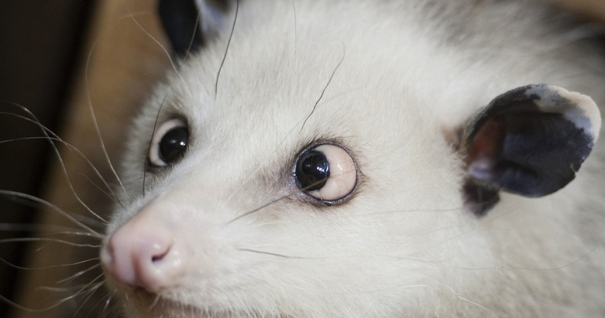 Opossum Heidi sits in her enclosure at the Leipzig Zoo on December 14, 2010.</p>