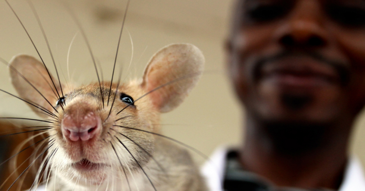 An African giant pouched rat; used to detect tuberculosis in Tanzania.</p>