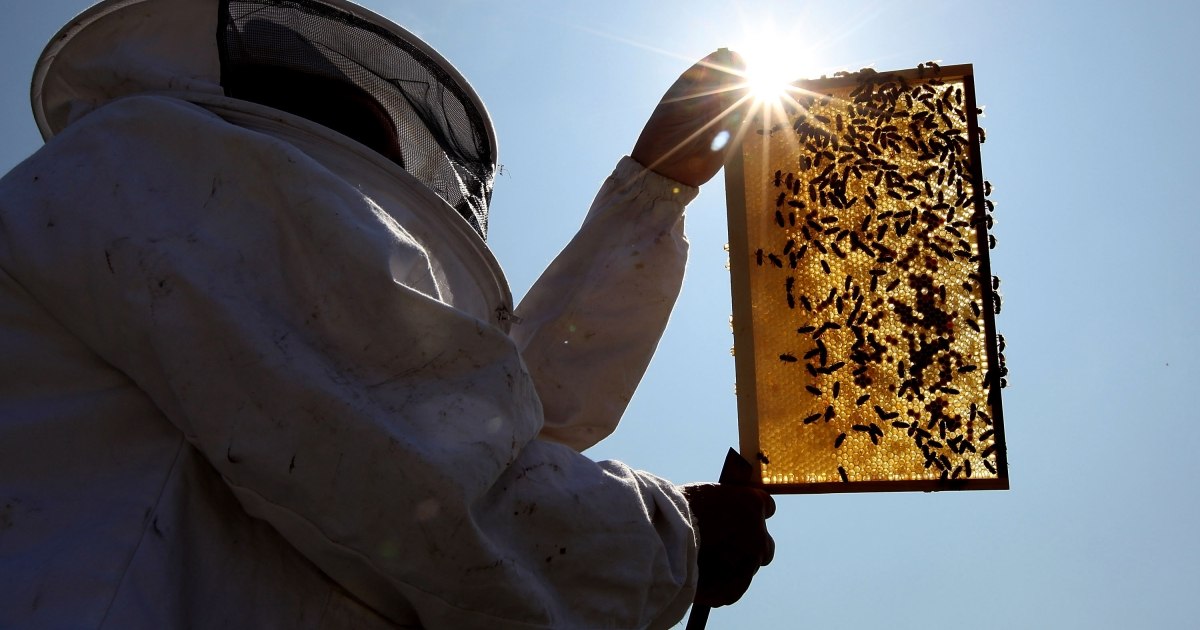 LONDON, ENGLAND - JUNE 29:  Beekeeper and Chairman of The London Beekeepers Association John Chapple installs a new bee hive on an urban rooftop garden in Hackney on June 29, 2009 in London, England. It is estimated that honeybee numbers in the UK have fallen between ten and 15 per cent in the last two years.  (Photo by Dan Kitwood/Getty Images)</p>
