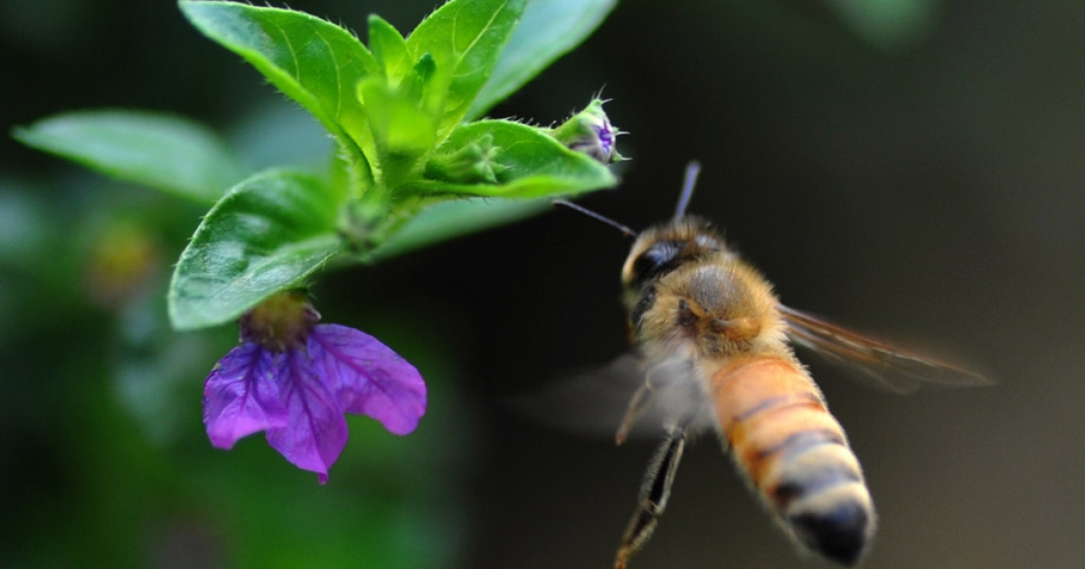A honeybee hovers over a flower. A new study has found that a parasitic fly may be responsible for decimating bee populations.</p>