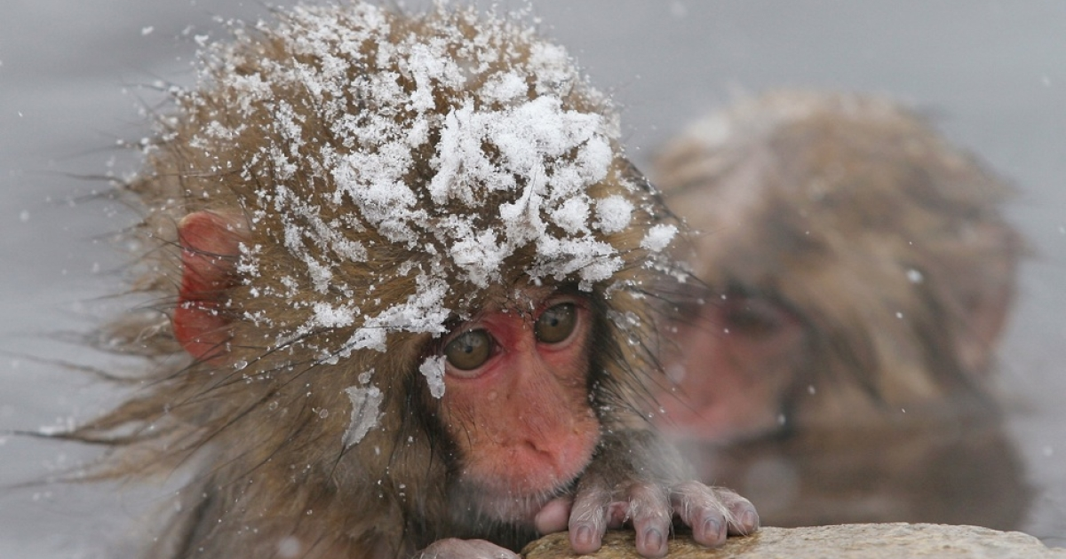 Consumer confidence in the US economy is cold. Or is it hot? Maybe it's both? This Japanese Macaque monkey probably feels the same way right about now.</p>