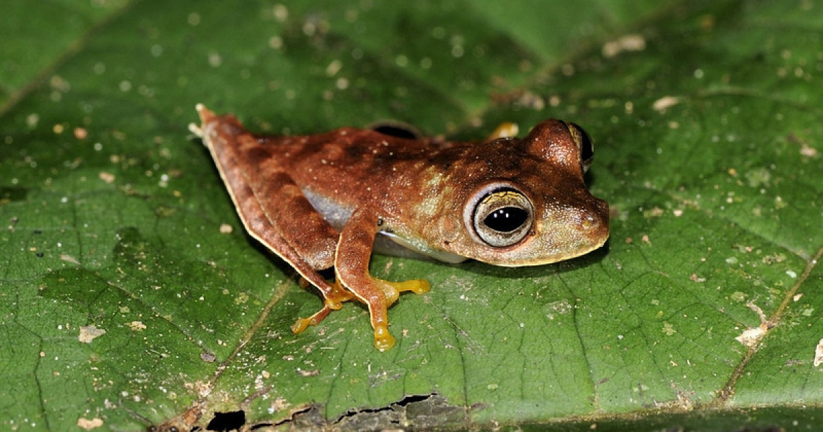 This possibly new species of frog has been nicknamed the