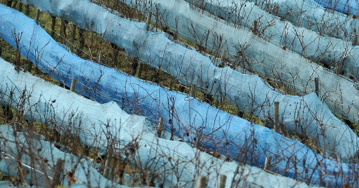Pinot gris vines destined for ice wine production are wrapped into a protection foil on January 10, 2012 in a vineyard near Dromersheim, western Germany.</p>