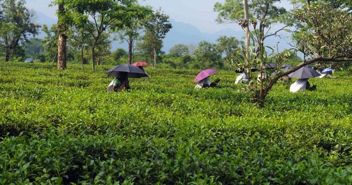 Workers pluck tea leaves at the Dagapur Tea Estate on the outskirts of Siliguri on June 11, 2012.</p>