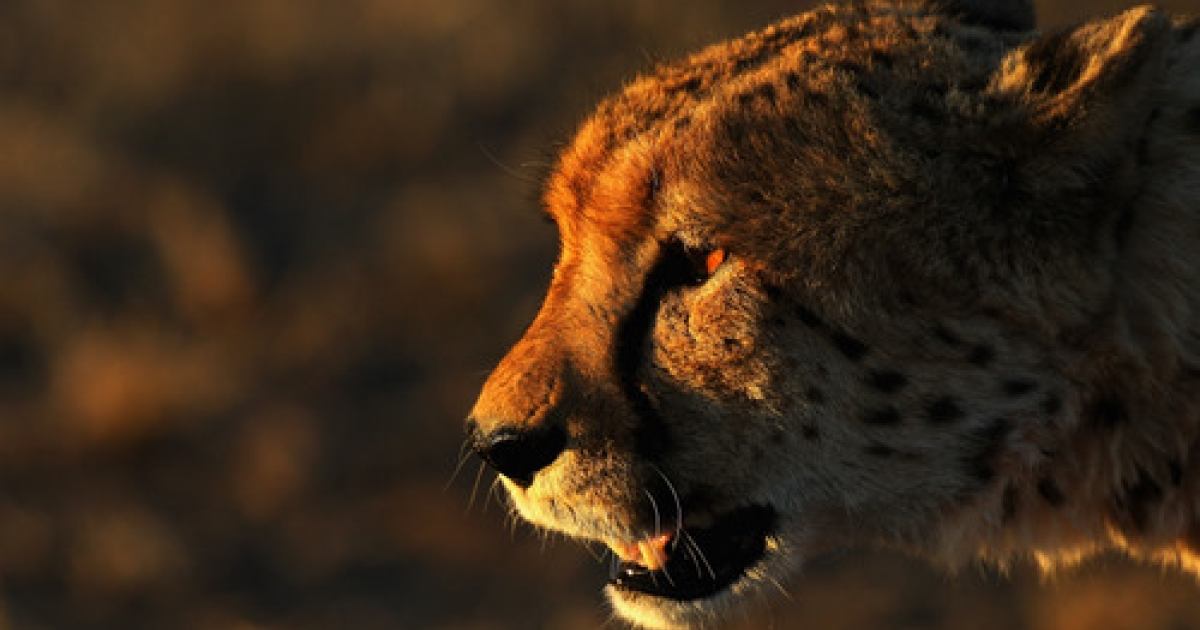 Hmmm.... Is it WWF or WTF? A cheetah contemplates India's plan to reintroduce the species in a land where people already drove it to extinction once.</p>