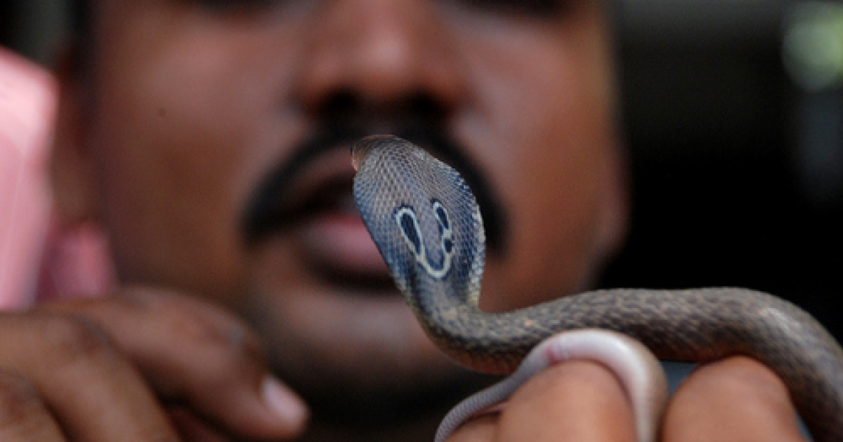 Snake handler Subhendu Malllik holds up an Indian baby cobra hatchling after it emerged from an egg on the outskirts of Bhubaneswar on June 21, 2011.  The Indian cobra (naja naja) is a venomous snake indigenous to South Asia, found across India, Pakistan, Bangladesh and Sri Lanka.</p>