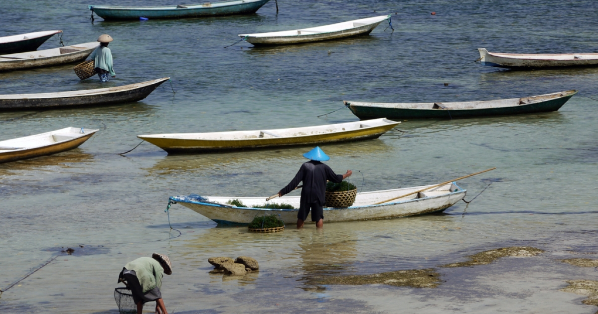 Sea plants support hundreds of farmers on the island triad of Penida, Lembongan and Ceningan.</p>