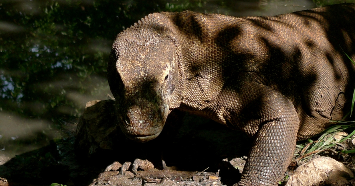 Komodo dragons lurk in the shade on Rinca Island. Rangers say the dragons have become more aggressive due to increased competition for food.</p>
