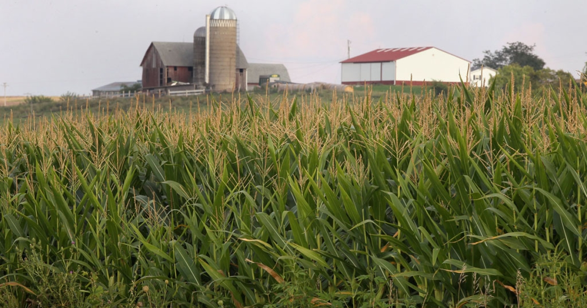 Corn grows in a field August 17, 2011 near Willow Springs, Wisconsin.</p>