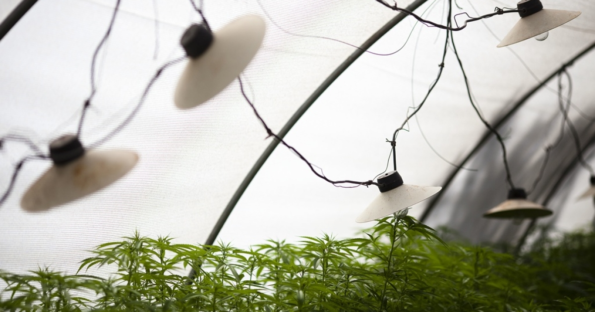 A worker at a cannabis greenhouse at the growing facility of the Tikun Olam company on March 7, 2011 near the northern city of Safed, Israel.</p>