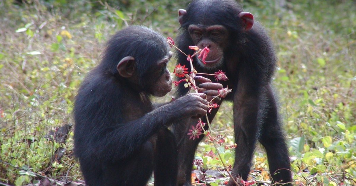 Chimpanzees are a critically endangered species in Ivory Coast, and are in danger of extinction because of poaching, environmental issues and a long history of violence in the country.  The curious chimps in this photo are two representatives of a dwindling population.</p>