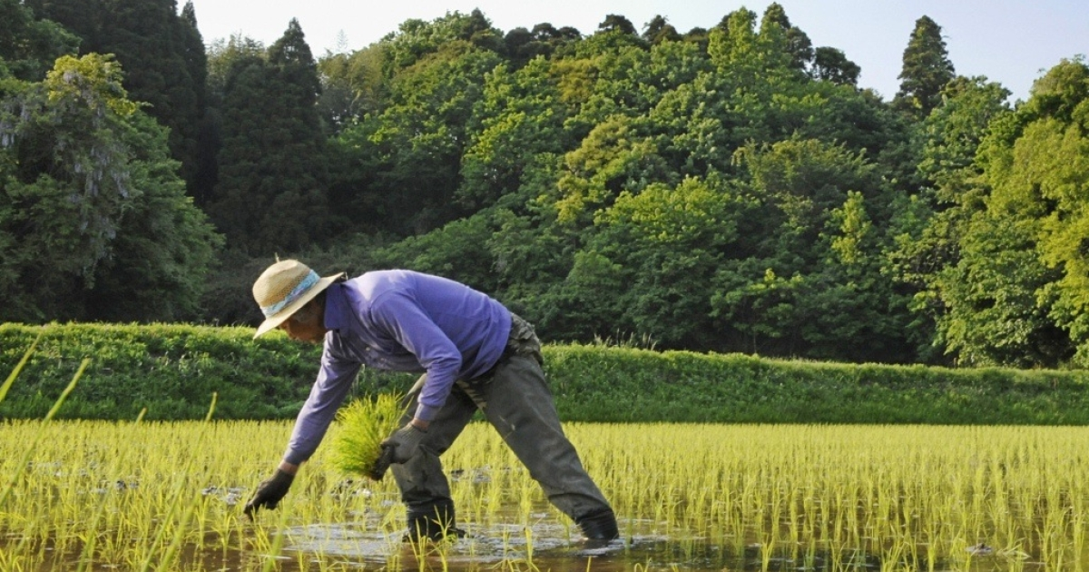A Japanese farmer works in a rice paddy.</p>