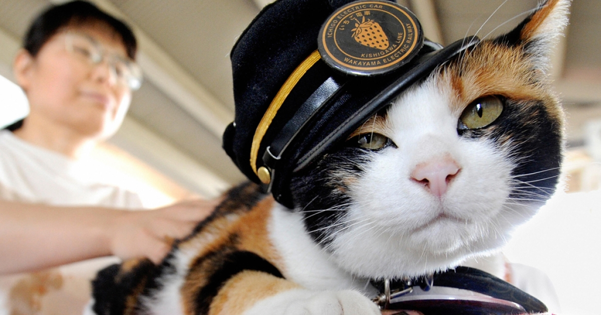 This cat is wearing a stationmaster's hat.</p>