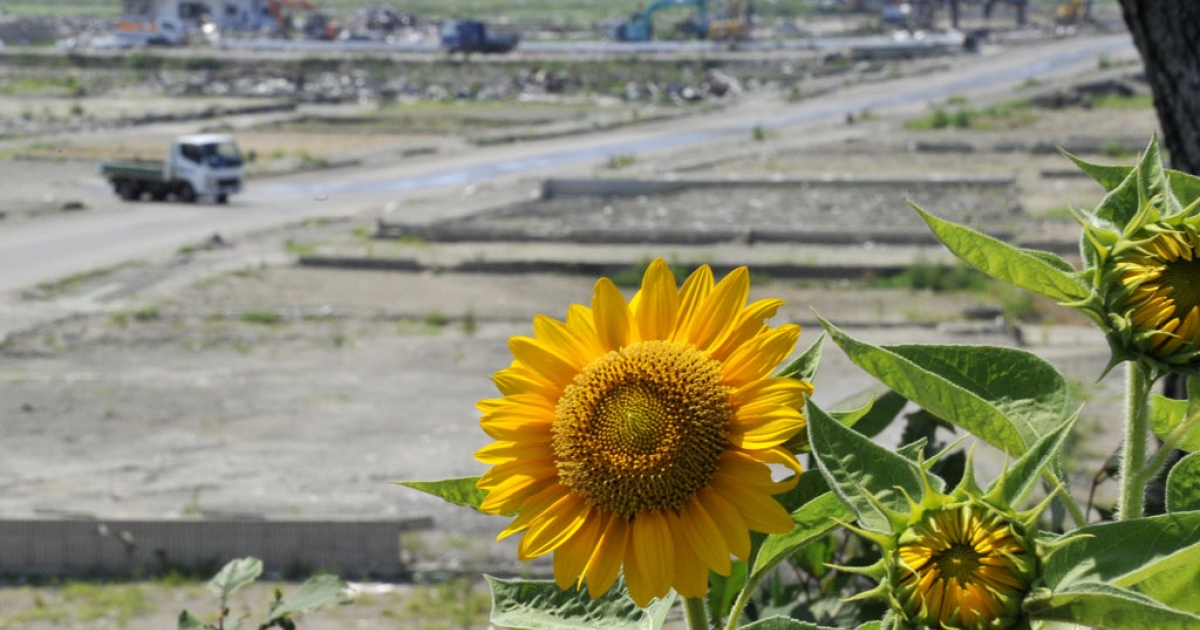 Sunflowers are seen in the tsunami-hit field in Natori, in Miyagi prefecture on July 15, 2011. Japan has launched a campaign to grow sunflowers to help decontaminate radioactive soil.</p>