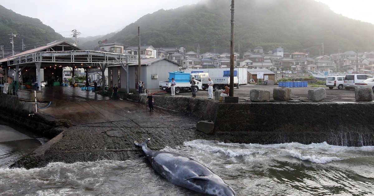 Fishermen slaughter a whale at Wada Port on July 29, 2009 in Minamiboso, Chiba, Japan.</p>