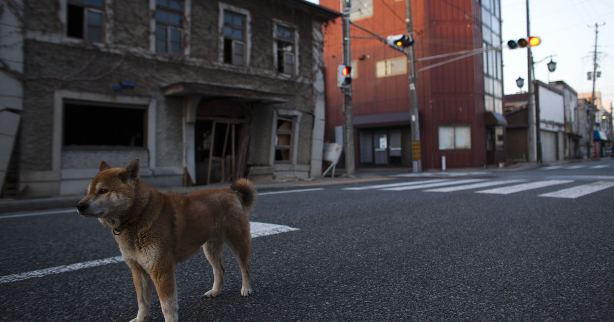 An abandoned dog is seen within the evacuation zone, about 3 miles away from Fukushima Nuclear Power Plant, on April 12, 2011 in Futaba Town, Fukushima Prefecture, Japan.</p>