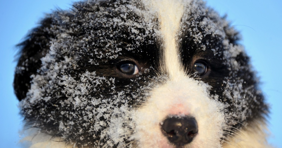 This Border Collie puppy is disappointed in you.</p>