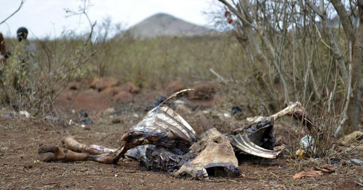A livestock carcass in Marsabit, northern Kenya, which has suffered prolonged drought.</p>