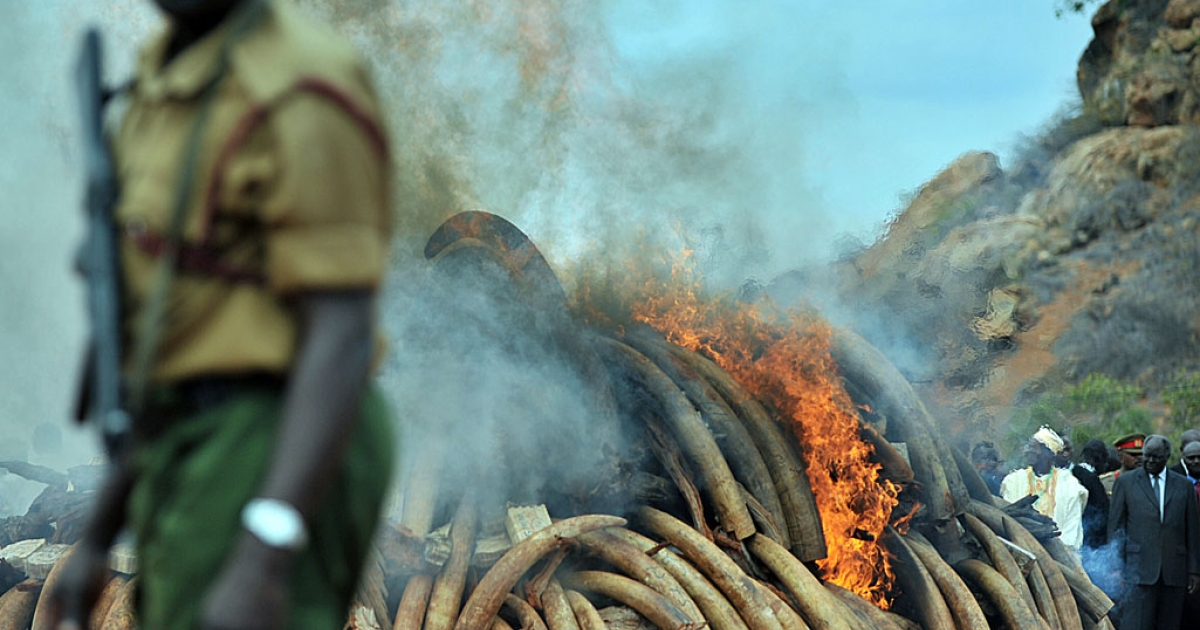 Five tonnes of illegal  ivory - including 335 elephant tusks - were burned in Kenya to discourage poaching which is on the increase across the continent fuelled by growing demand from the Far East.</p>